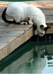Cat looking at her reflection in a pool.